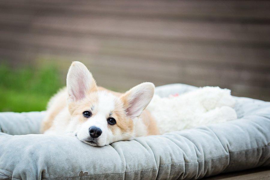 Paddington the Corgi by Posh Pets Photography | Pretty Fluffy