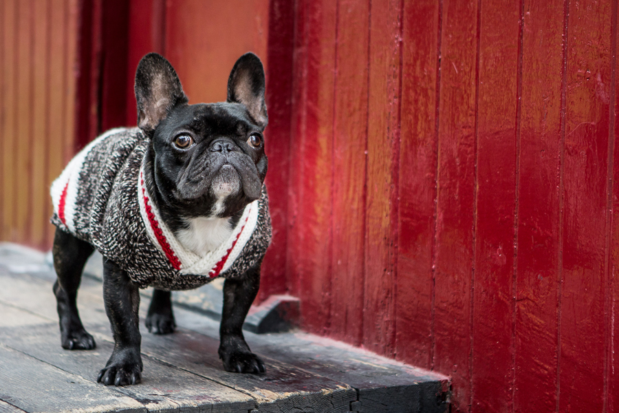 Russell the French Bulldog Puppy by Samantha Ong Photography   Pet Photography   Pretty Fluffy