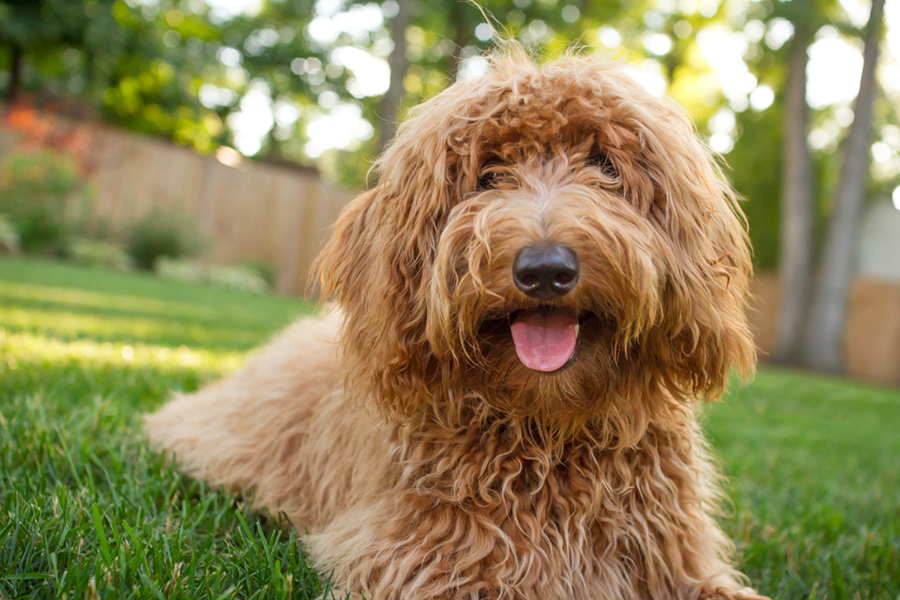 Lola the Goldendoodle by Mary Maier Photography   Visit www.prettyfluffy.com for more cute puppy photos!