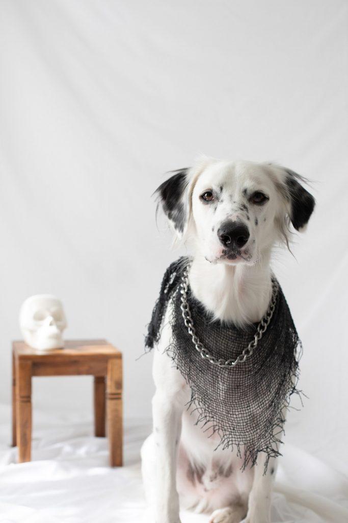 DIY-No-Sew-Halloween-Dog-Bandana-4