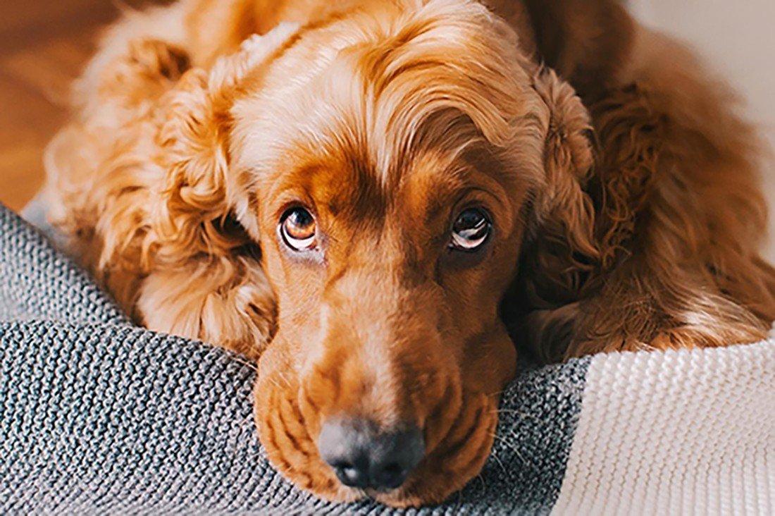 Golden cocker spaniel puppy eyes - pet photography tips