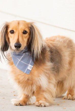 Foggy Dog bandana on long hair dachshund - Dog Apparel & Dog Accessories - Pretty Fluffy Dog Lovers Directory