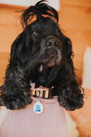 Ziggy ambassador for Oscar's Law IdPet Fundraiser Campaign