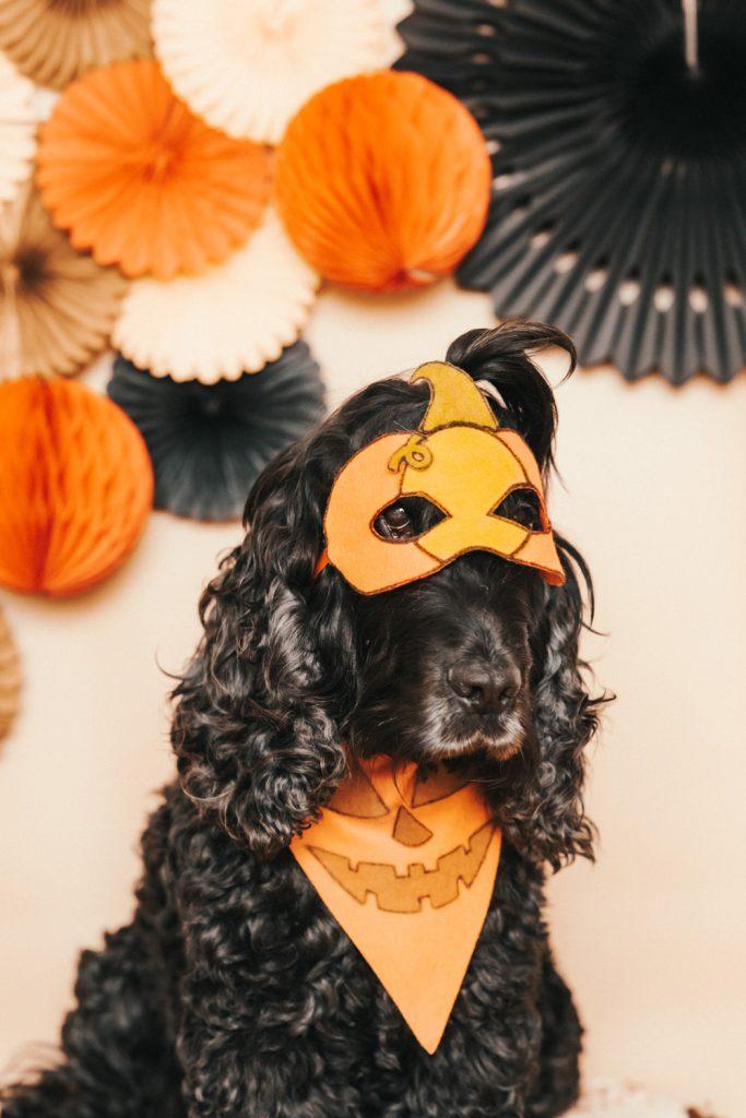 Dog in Halloween Costume - DIY No Sew Felt Halloween Dog Pumpkin Mask and Bandana