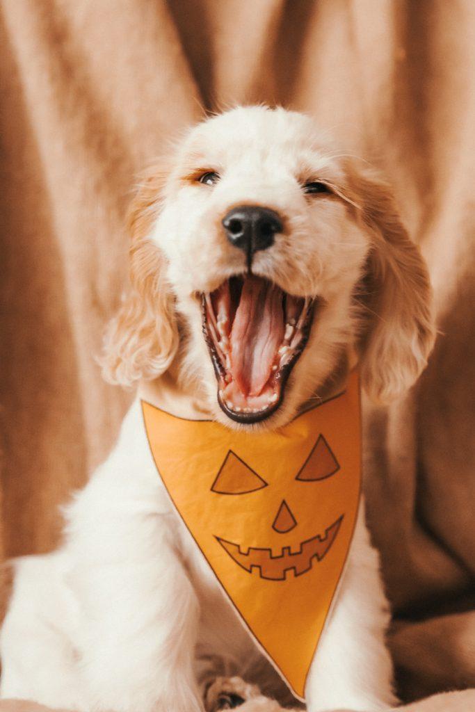 Puppy in Halloween Costume - DIY No Sew Halloween Dog Pumpkin Mask and Bandana